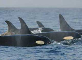 Orca whales