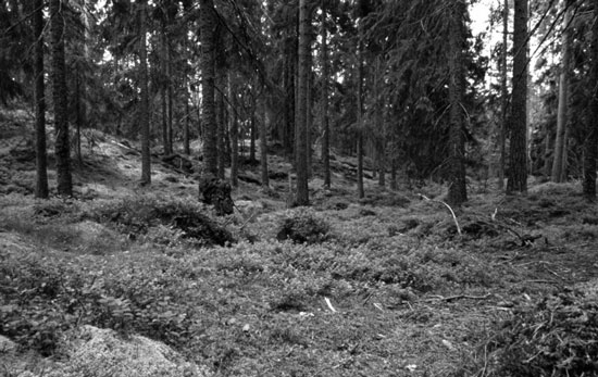 The Dark Pines of a Swedish Wood