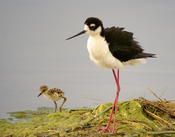 An adult Black-necked Stilt out for a walk with one of its four young. (c) Alan R. Smith