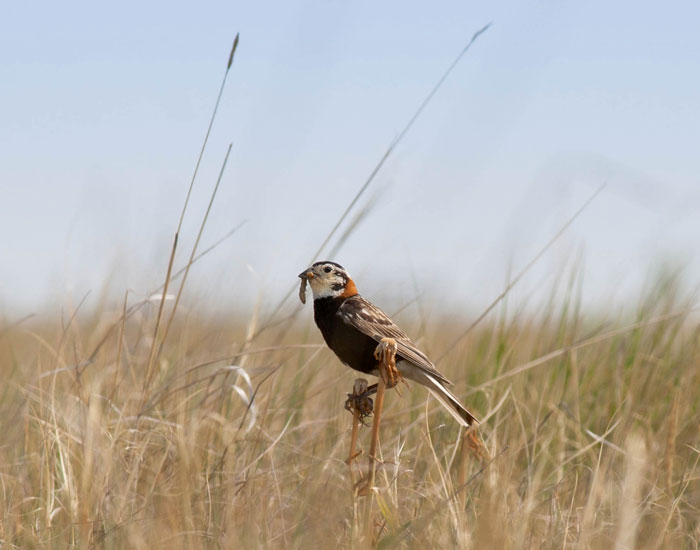 Male Chestnut-collared Longspur returns to his nest to feed his nestlings. (c) Jennifer Horvat