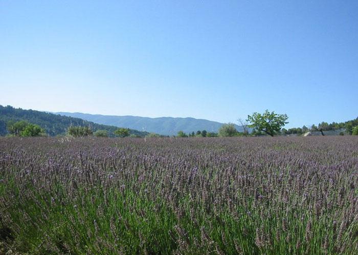 Smell the lavender! (c) Serena Kent