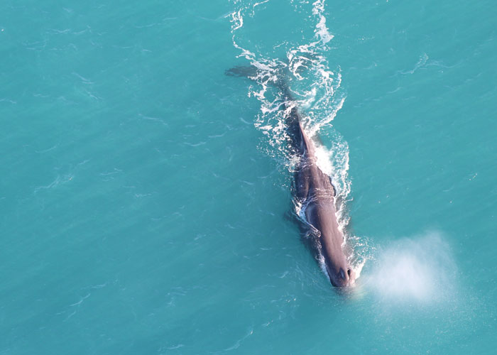 Kaikoura Whales (c) Visit New Zealand