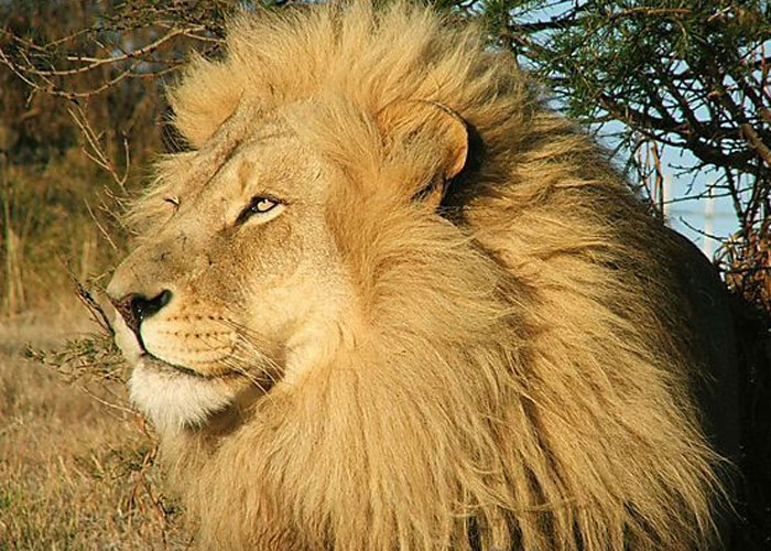Lion (c) Africa Guide