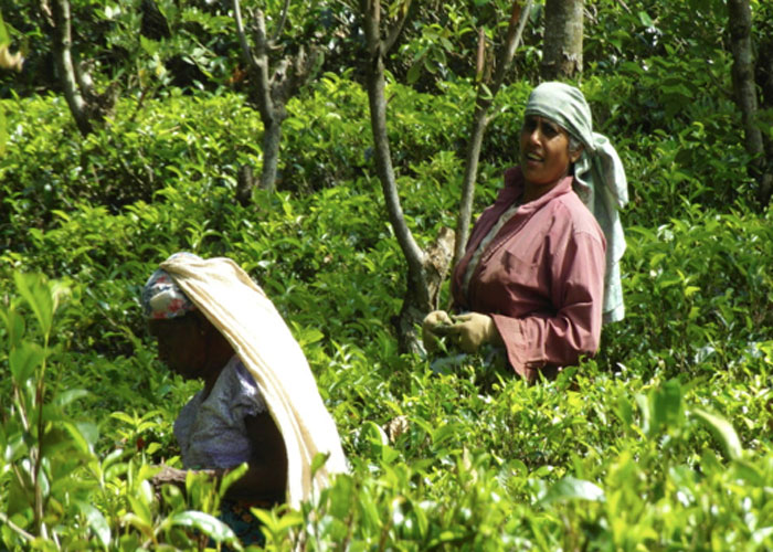 Ceylon tea pickers (c) Harriet Steel