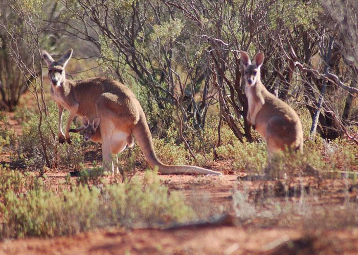 Kangaroos!! (c) Chris Hammer