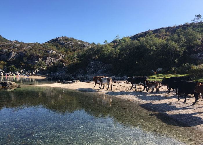The cattle on the Coral Beach near Plockton. (c) Kiley Dunbar